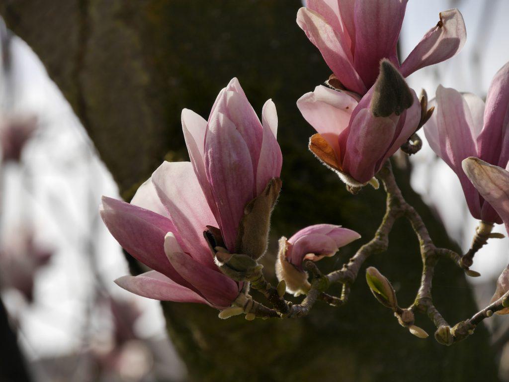 Tulpenbaum!